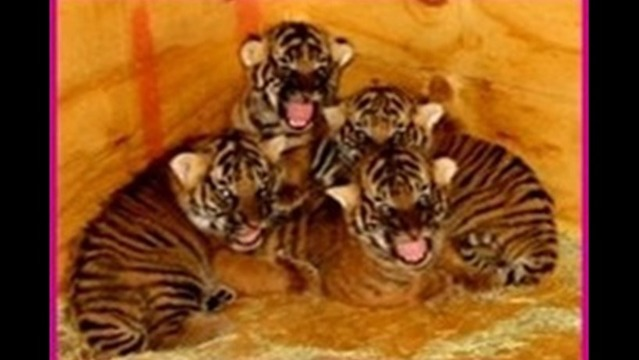 Little Rock Zoo Introduces New Tiger Cubs