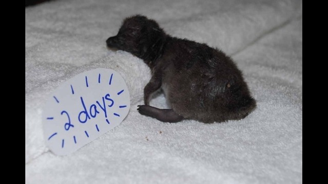 Little Rock Zoo Welcomes Third African Penguin Chick