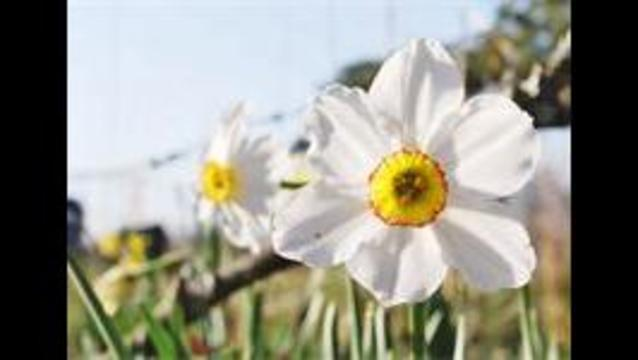 Sign of Spring: Daffodil Festival Starts on Wye Mountain
