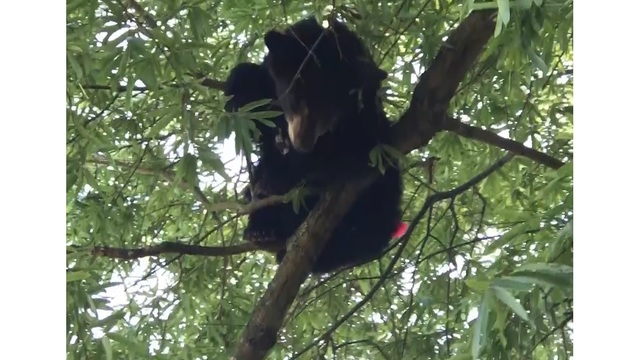 Morrilton Police and Game and Fish Capture Bear on UACCM Campus
